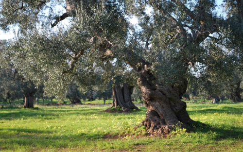 Manifesto Slow Food a difesa dell'olivicoltura italiana