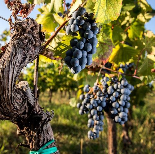 Terrano, Teran o Refosk: tra Carso, Kras e Istria troviamo la patria del vitigno. Le migliori etichette in commercio.