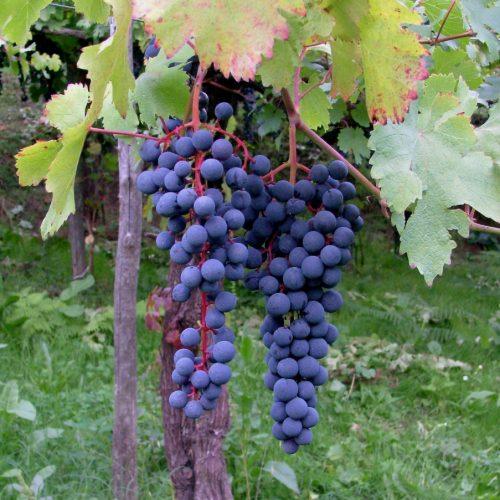 Chiamalo Piedirosso, o Per' e Palummo, è comunque un affascinante vino campano. Le migliori etichette in commercio