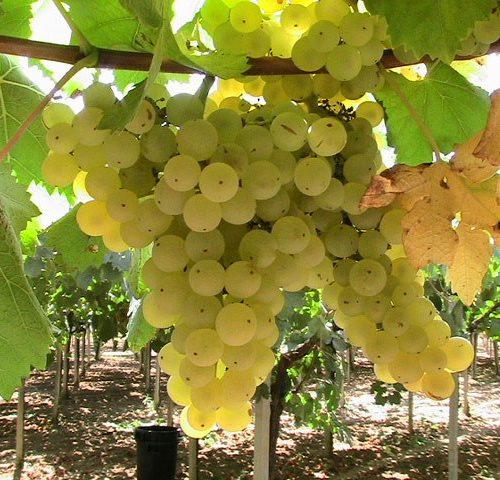 bello, bellissimo, Bellone: non parliamo di Alain Delon (ai tempi d'oro) ma del vitigno del Lazio. Da Cori le migliori etichette in commercio.