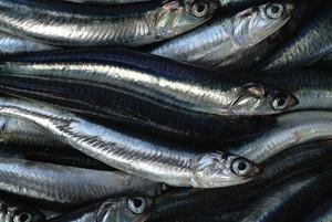 Alici, acciughe, sardoni, quei pesci umili ma ricchi di sapore e proprietà nutritive