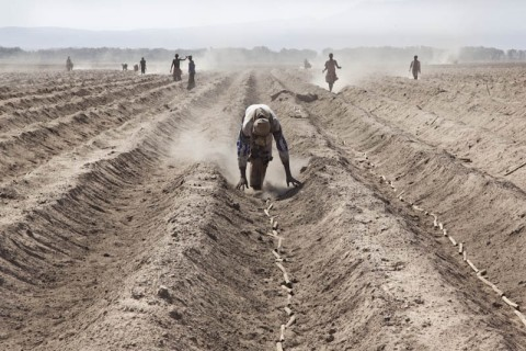 Ethiopia, Awash, near Amibara and the Aledeghi natural reserve. Sugar cane cutlings are planted. This territory is included in the government-owned Metahara Sugar Factory's  20 thousand hectare expansion plan, in the context of boosting sugar and biofuel production.