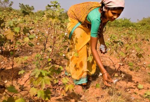 India: il cotone Gm sul campo non funziona