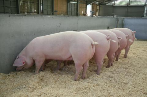 Welsh_Pig_2-1024x680