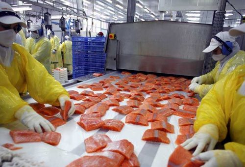 Golosi di sushi attenzione agli antibiotici: il salmone allevato in Cile ne contiene 500 volte in più di quello allevato in Norvegia
