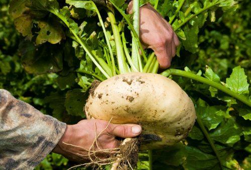 Al contadino non far sapere quanto è buona la rapa con salsiccia, patate e funghi