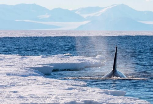 Consumo di Omega 3: a rischio la sopravvivenza delle balene