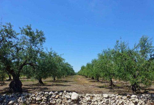 Slow Olive scende al Sud: a Torre Santa Susanna la presentazione della Guida agli Extravergini