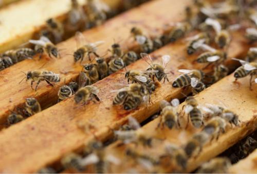 Una dolce notizia. Le api di Notre Dame sono vive!