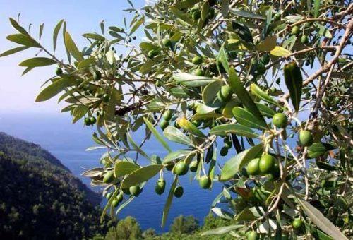 Quale futuro per l'oliveto Italia?