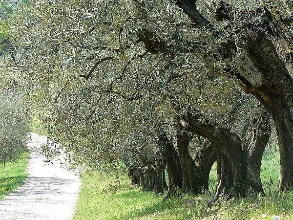 Campagna olearia 2020: la situazione in Umbria, Puglia e Sicilia
