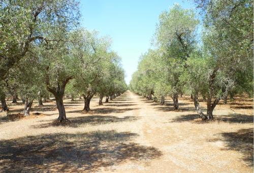 Pianta un olivo se vuoi bene alla Terra