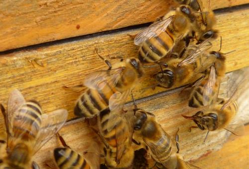 Neonicotinoidi alla sbarra: 38 agricoltori indagati per la moria delle api