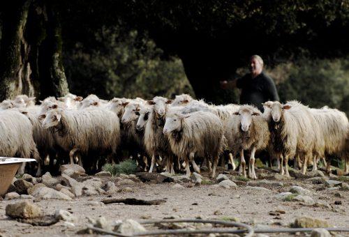 Troviamo una soluzione al genocidio dei pastori sardi