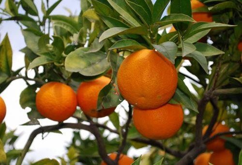 Viaggio nell'Italia dei Presìdi: gli agrumi del Gargano