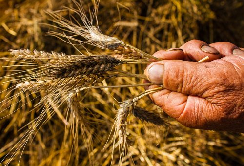 """A Sementia """"Germogli di comunità"""": i primi passi della rete Slow Grains"""