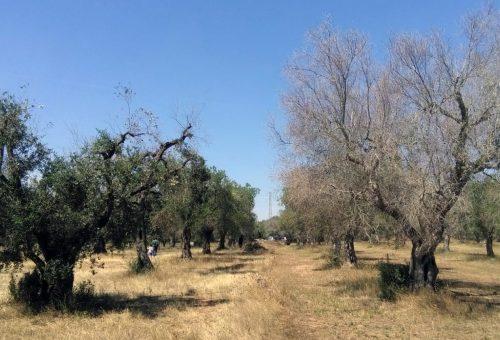 «Salviamo gli ulivi curando la terra». La resilienza dei contadini del Salento