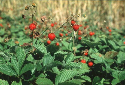 Dalle Alpi all'Etna è il momento delle fragole: ecco i Presìdi Slow Food da provare.